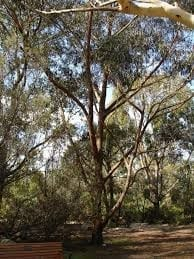 Eucalyptus Piperita Sydney Peppermint Trees In Newcastle